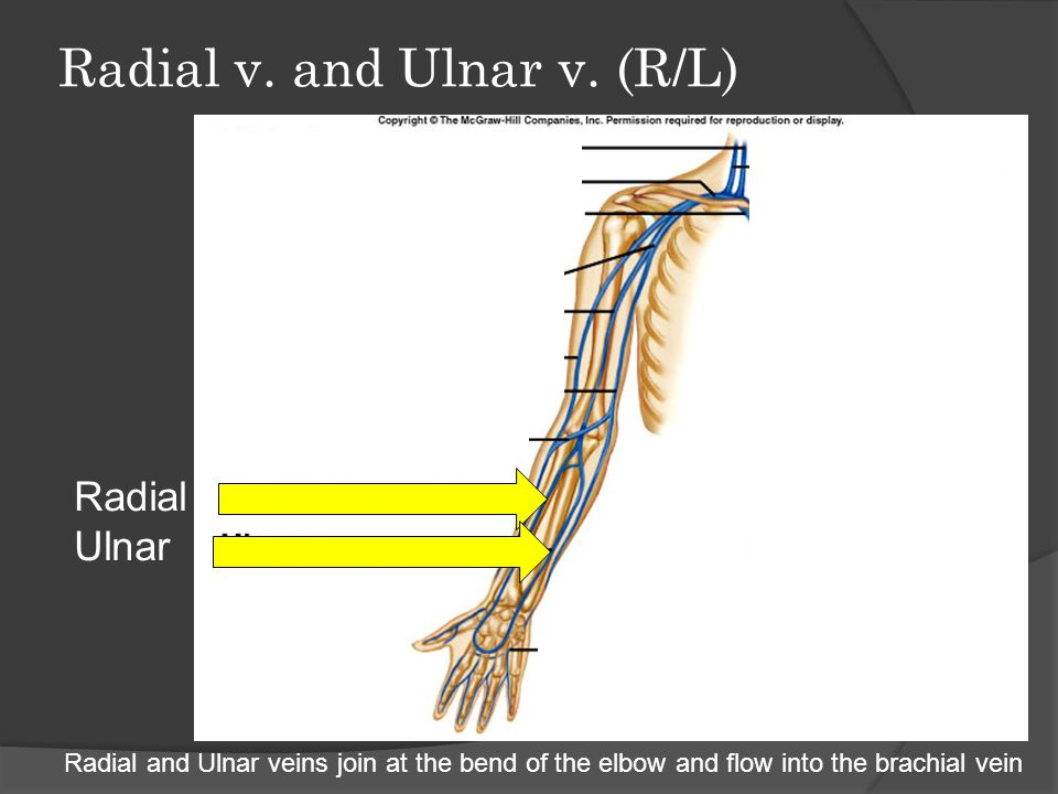 Radial v. and Ulnar v. (R/L)
