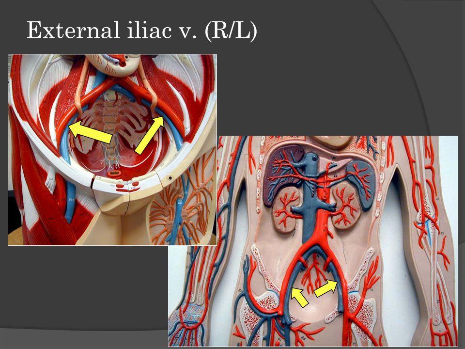 External iliac v. (R/L)