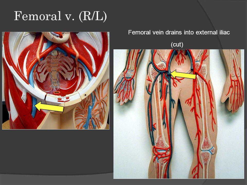Femoral v. (R/L) Femoral vein drains into external iliac (cut)