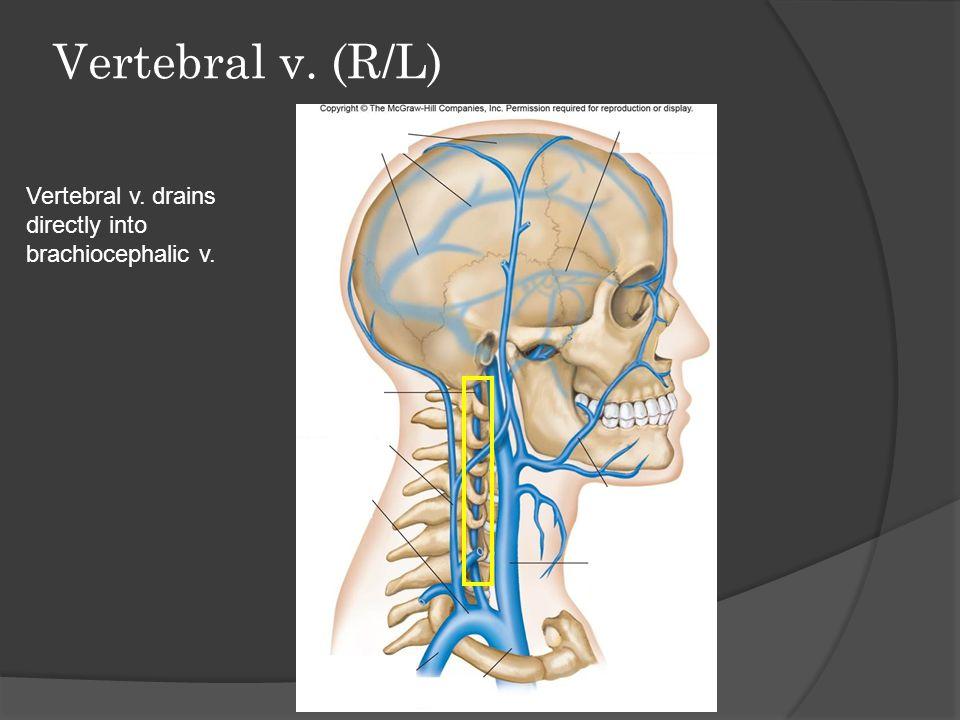 Vertebral v. (R/L) Vertebral v. drains directly into brachiocephalic v.