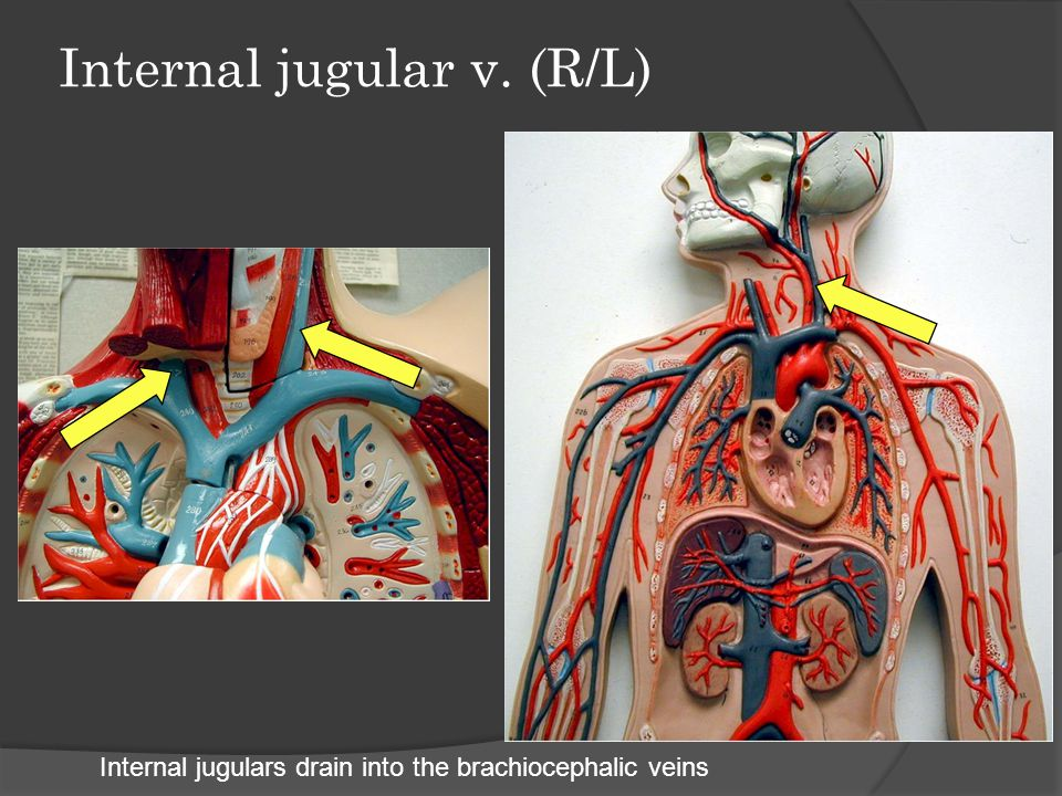 Internal jugular v. (R/L)