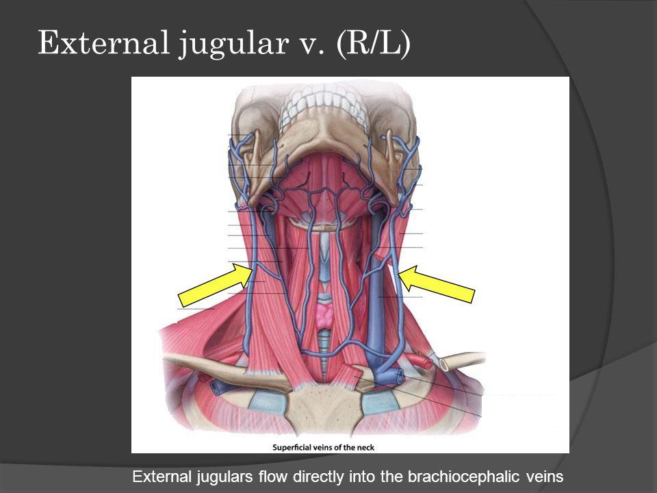 External jugular v. (R/L)