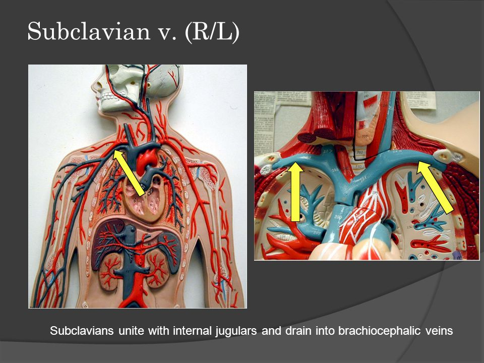 Subclavian v. (R/L) Subclavians unite with internal jugulars and drain into brachiocephalic veins