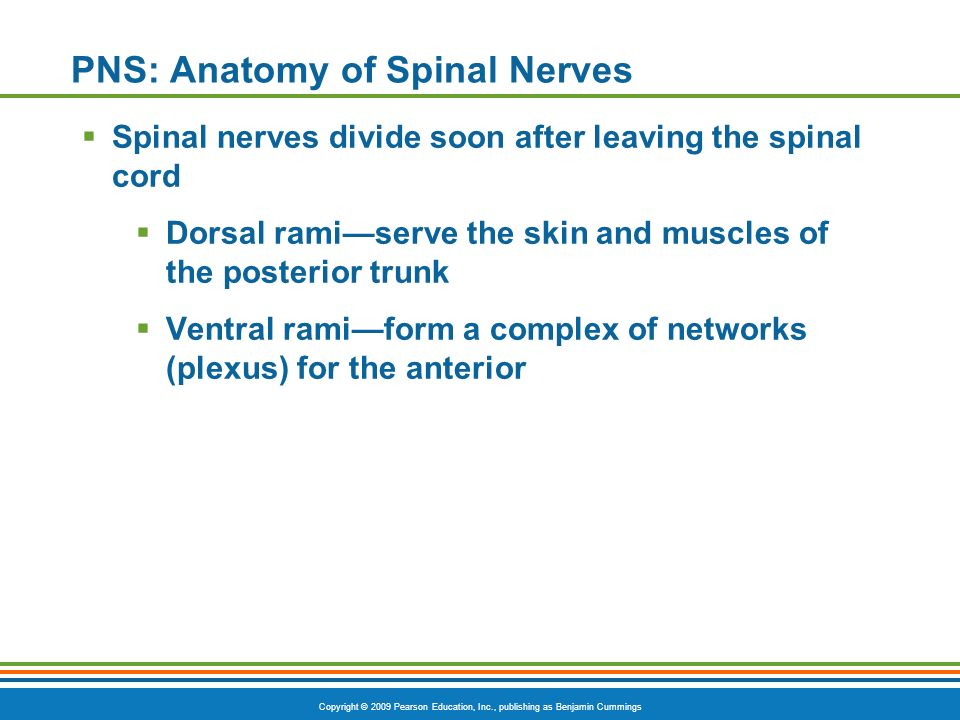 PNS: Anatomy of Spinal Nerves
