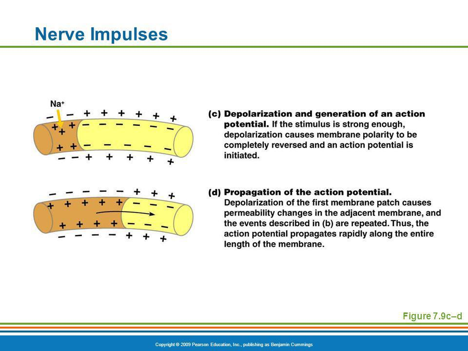 Nerve Impulses Figure 7.9c–d