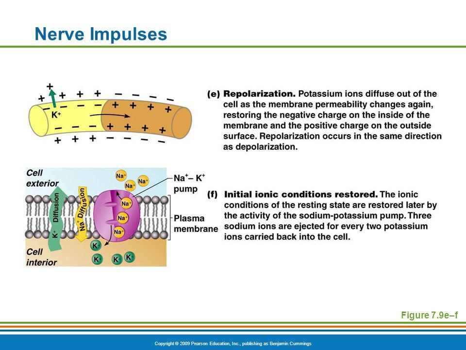 Nerve Impulses Figure 7.9e–f