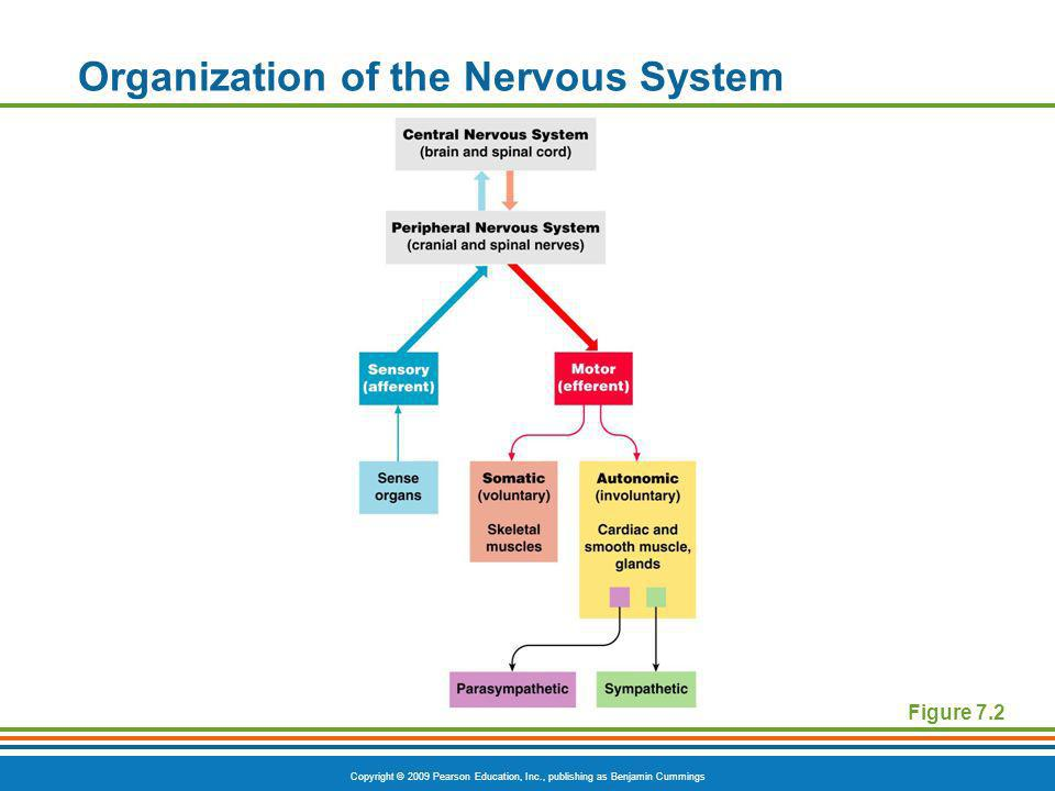 Organization of the Nervous System