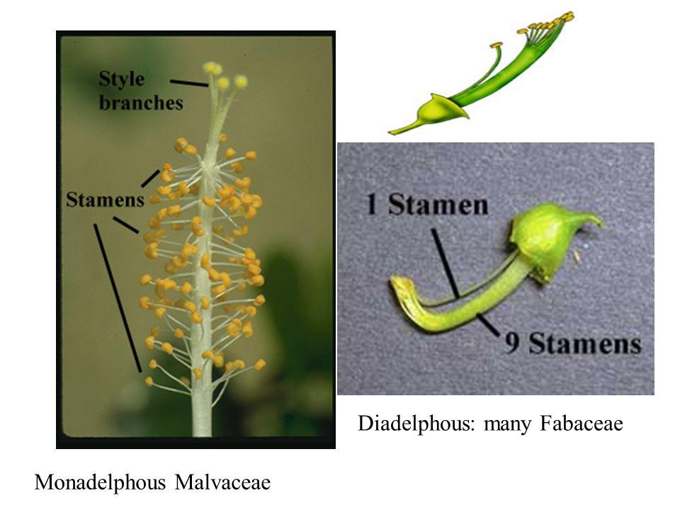 Diadelphous: many Fabaceae