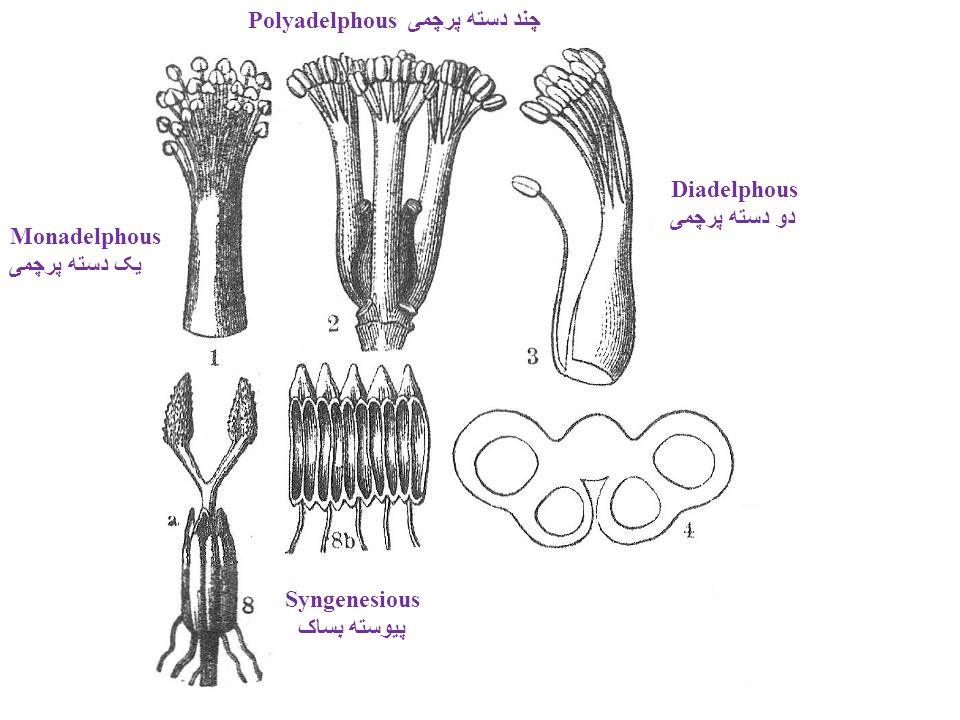 Polyadelphous چند دسته پرچمی