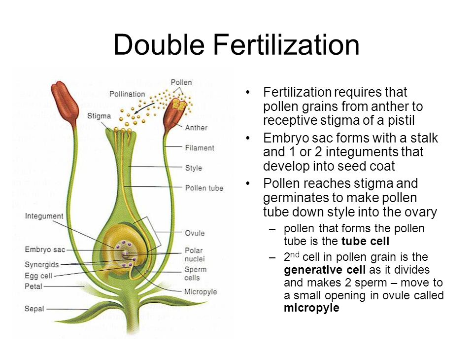 Double Fertilization Fertilization requires that pollen grains from anther to receptive stigma of a pistil.