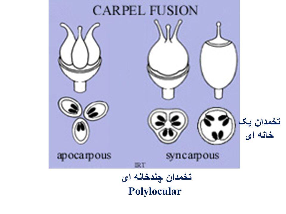 تخمدان یک خانه ای تخمدان چندخانه ای Polylocular