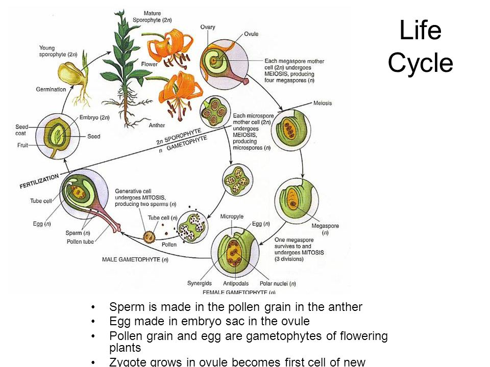 Life Cycle Sperm is made in the pollen grain in the anther