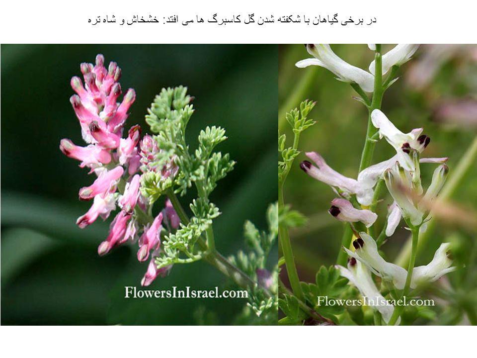 در برخی گیاهان با شکفته شدن گل کاسبرگ ها می افتد: خشخاش و شاه تره