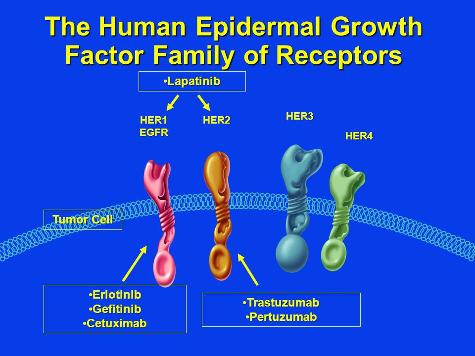 The Human Epidermal Growth Factor Family of Receptors