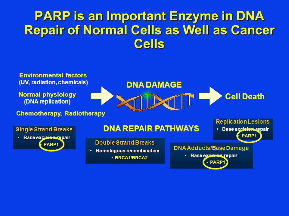 PARP is an Important Enzyme in DNA Repair of Normal Cells as Well as Cancer Cells
