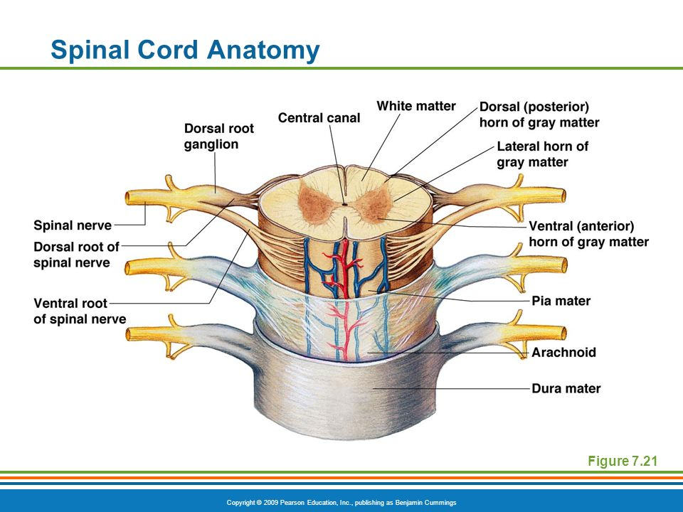Spinal Cord Anatomy Figure 7.21