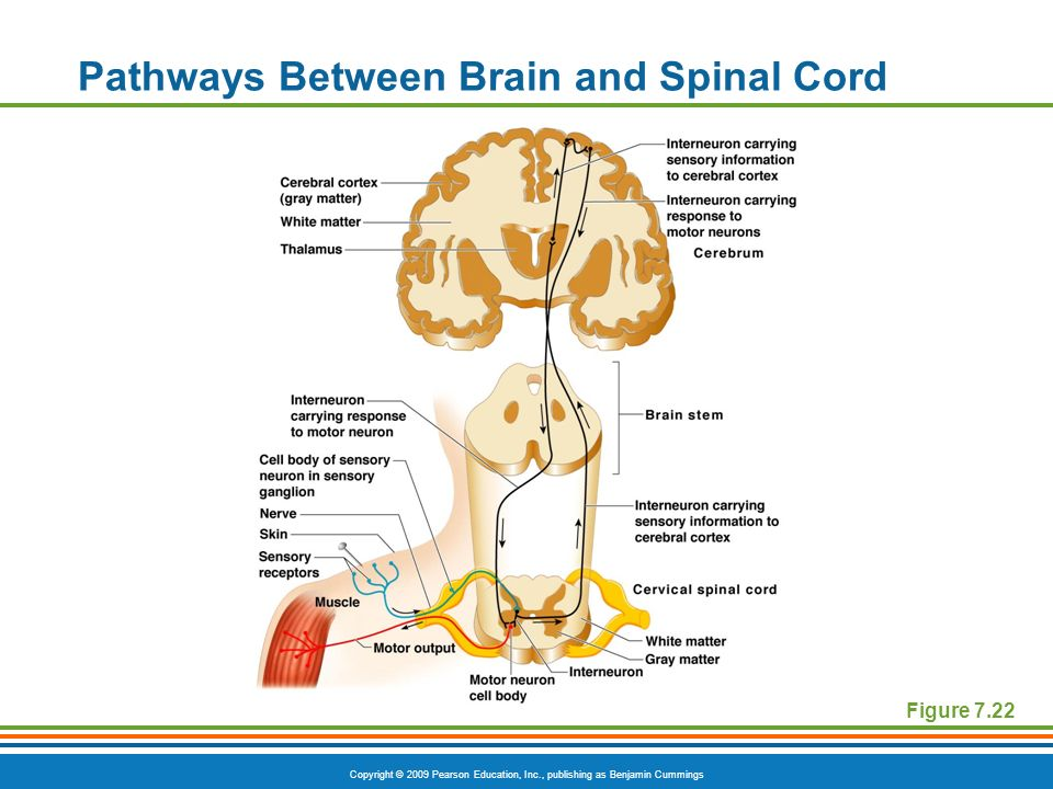 Pathways Between Brain and Spinal Cord