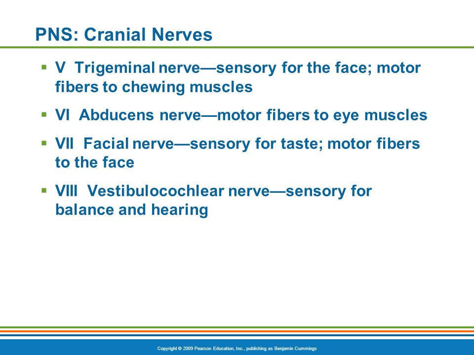 PNS: Cranial Nerves V Trigeminal nerve—sensory for the face; motor fibers to chewing muscles. VI Abducens nerve—motor fibers to eye muscles.