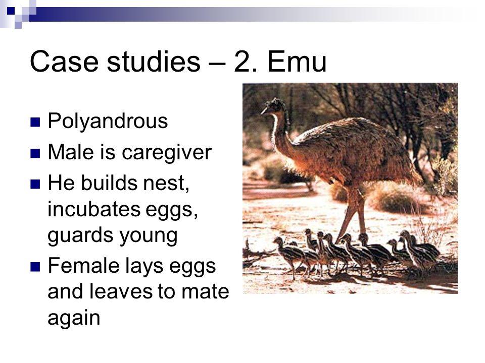 Case studies – 2. Emu Polyandrous Male is caregiver