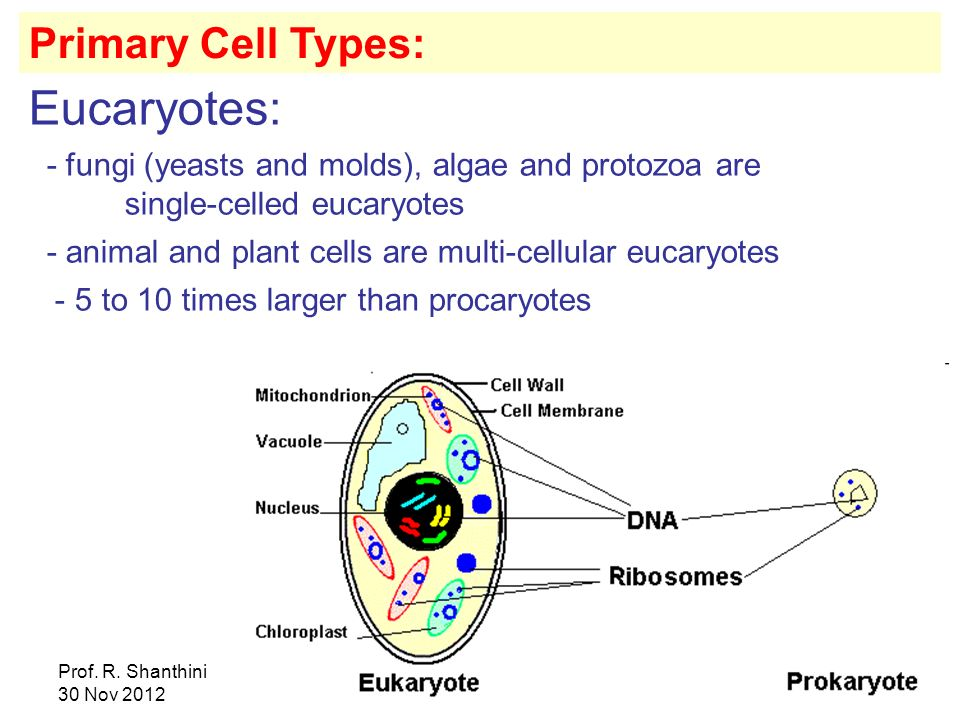 Eucaryotes: Primary Cell Types: