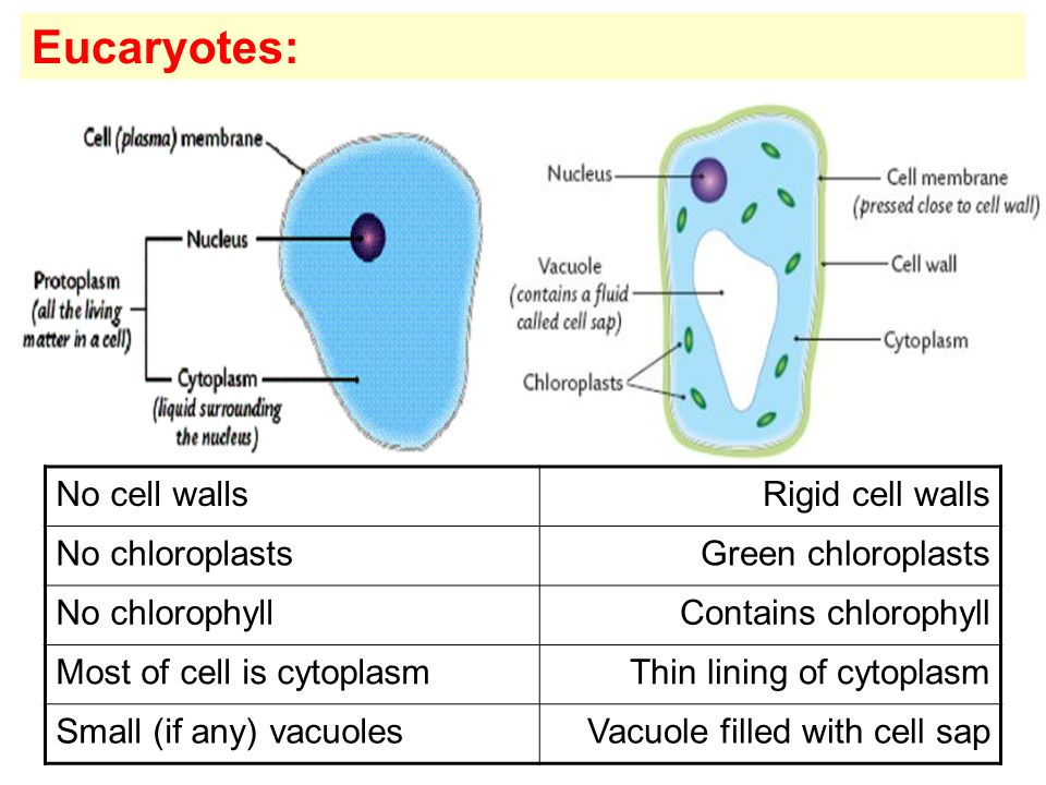 Eucaryotes: No cell walls Rigid cell walls No chloroplasts