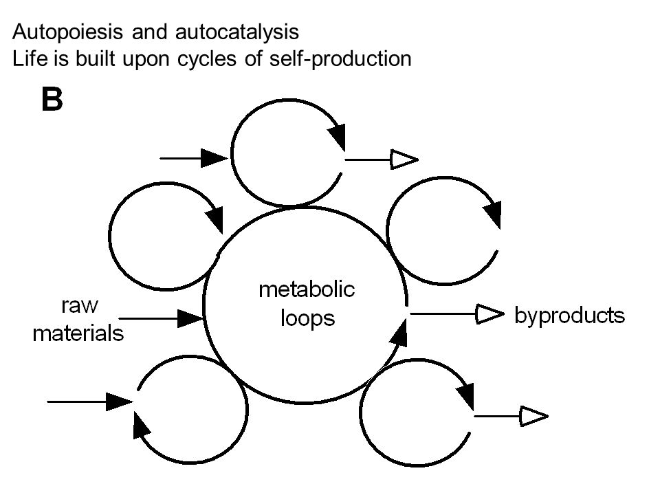 Autopoiesis and autocatalysis Life is built upon cycles of self-production