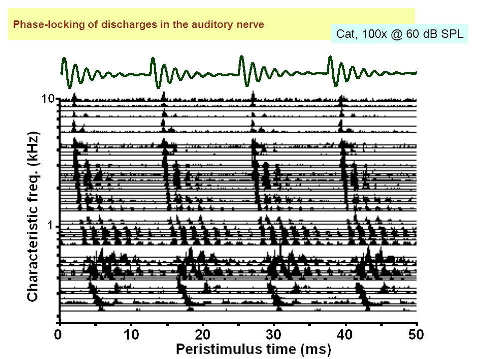 Phase-locking of discharges in the auditory nerve