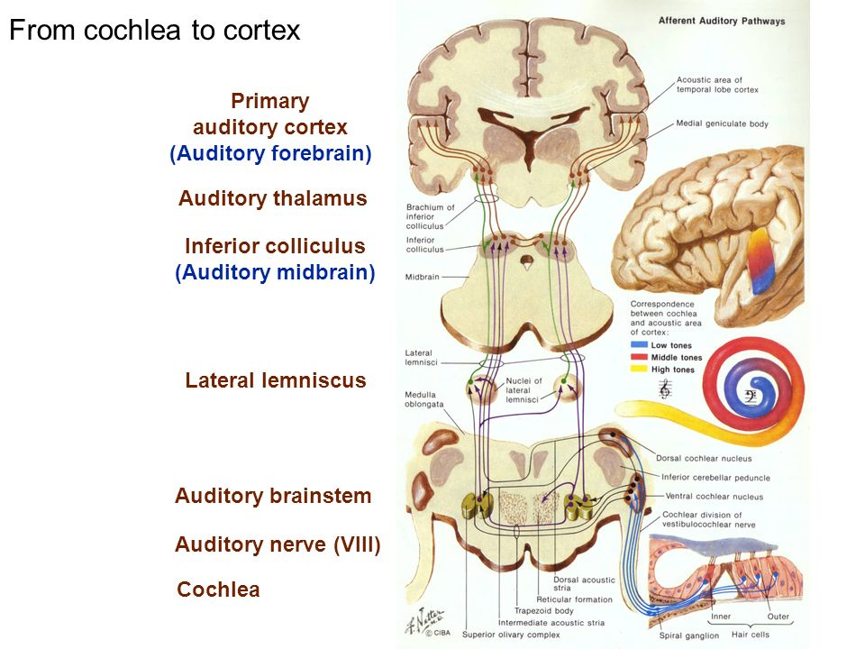 From cochlea to cortex Primary auditory cortex (Auditory forebrain)