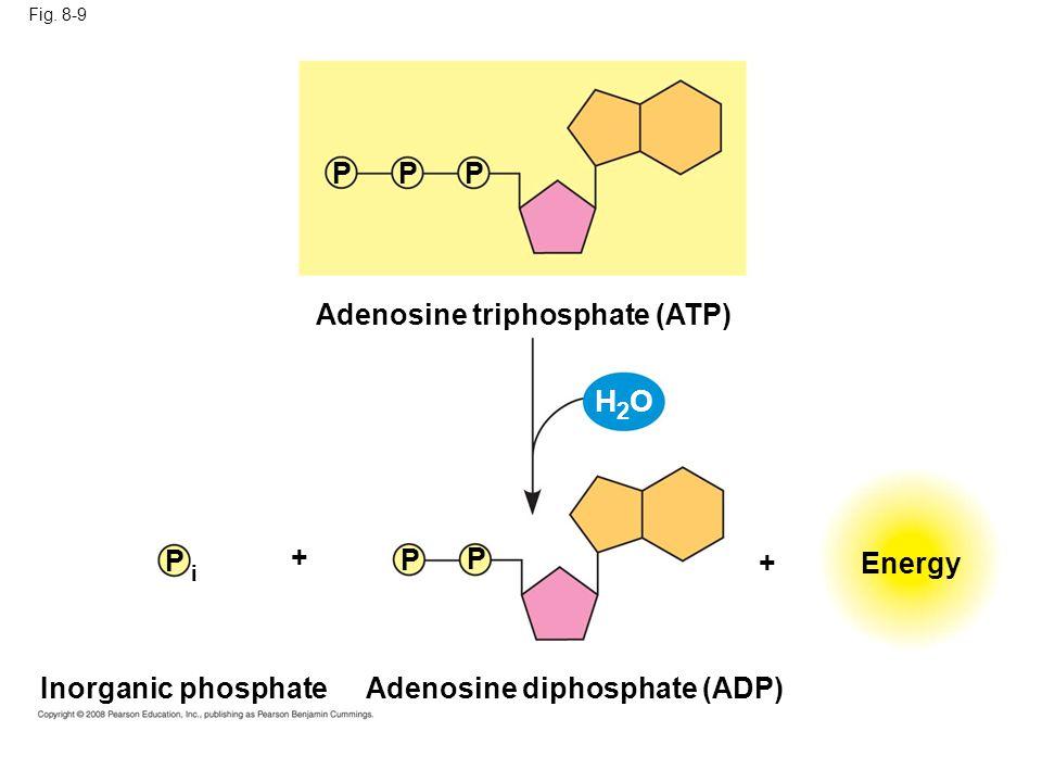 H2O P P P Adenosine triphosphate (ATP) P + P P + Energy