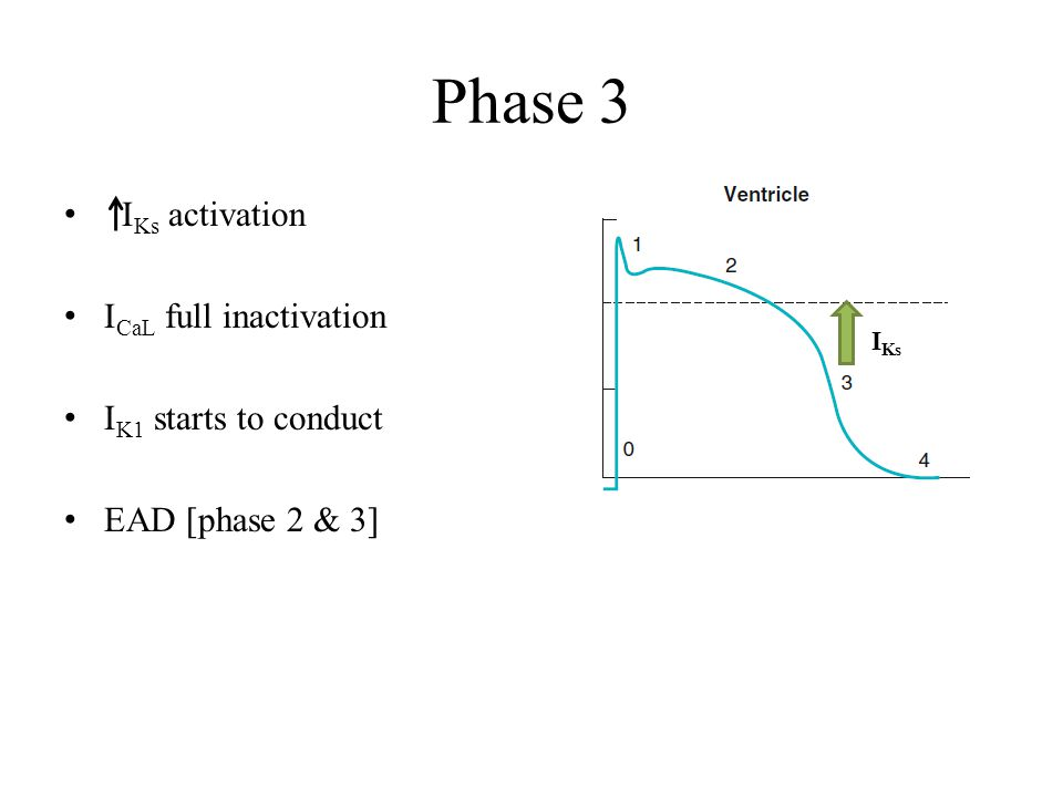 Phase 3 IKs activation ICaL full inactivation IK1 starts to conduct
