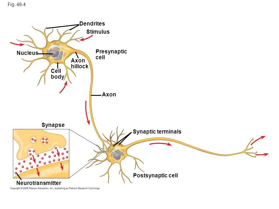 Dendrites Stimulus Presynaptic Nucleus cell Axon hillock Cell body