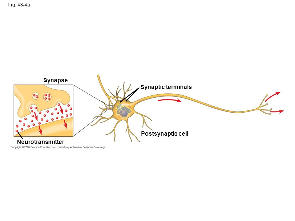 Synapse Synaptic terminals Postsynaptic cell Neurotransmitter