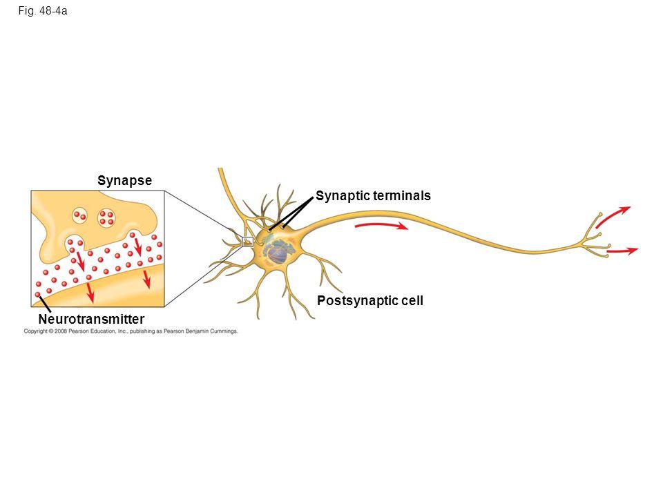 Synapse Synaptic terminals Postsynaptic cell Neurotransmitter