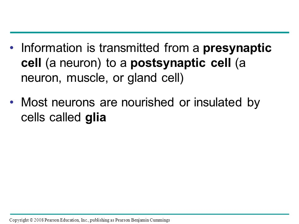 Information is transmitted from a presynaptic cell (a neuron) to a postsynaptic cell (a neuron, muscle, or gland cell)