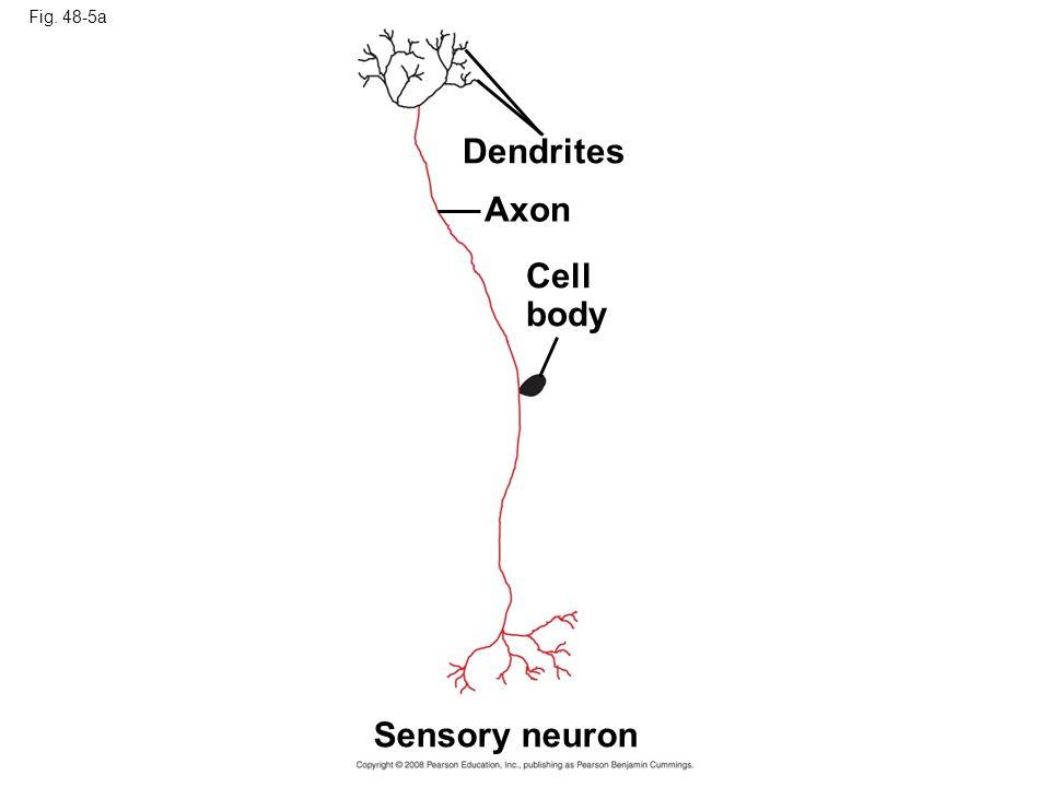 Dendrites Axon Cell body Sensory neuron Fig. 48-5a