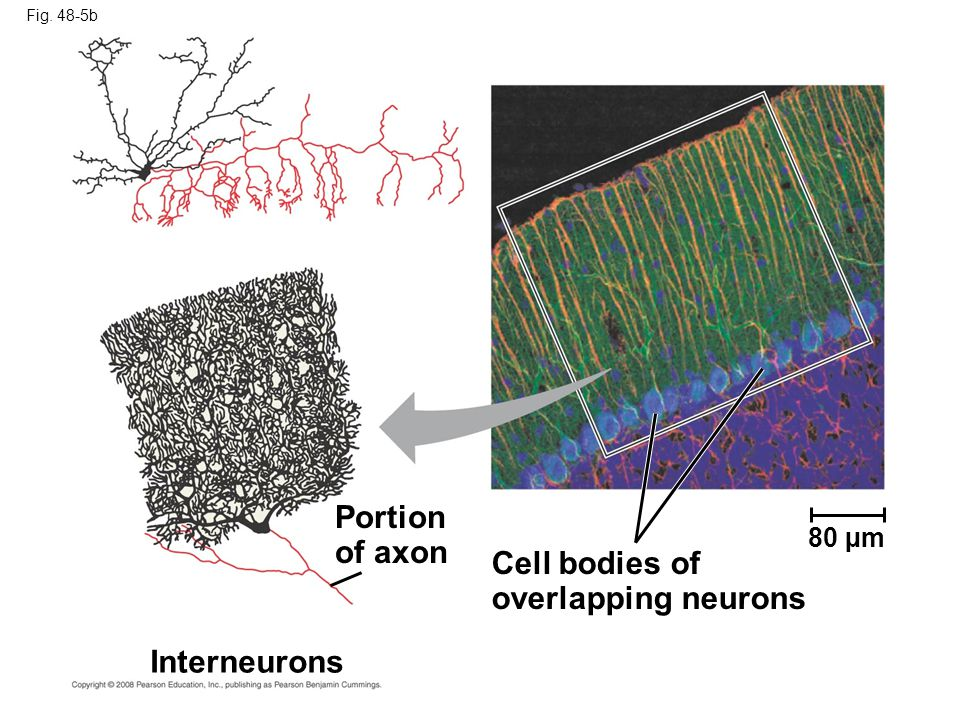 Portion of axon Cell bodies of overlapping neurons Interneurons 80 µm