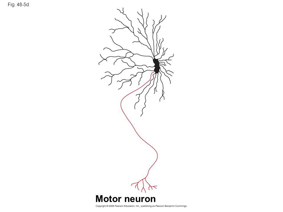 Fig. 48-5d Figure 48.5 Structural diversity of neurons Motor neuron