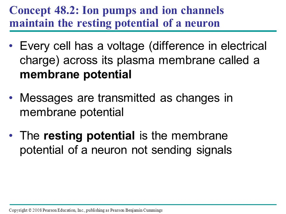Concept 48.2: Ion pumps and ion channels maintain the resting potential of a neuron