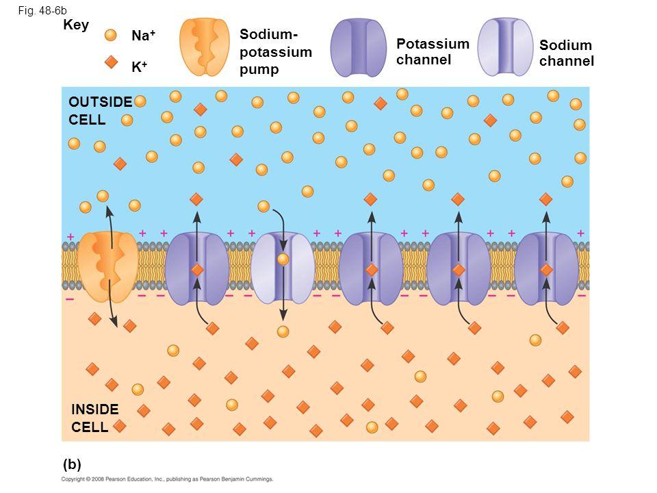 Key Na+ Sodium- potassium Potassium Sodium pump channel channel K+