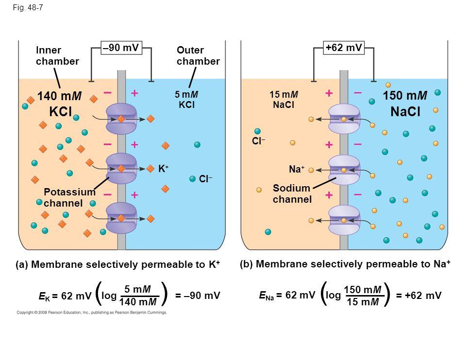 ( ) ( ) KCI NaCI 140 mM 150 mM Inner chamber –90 mV Outer chamber