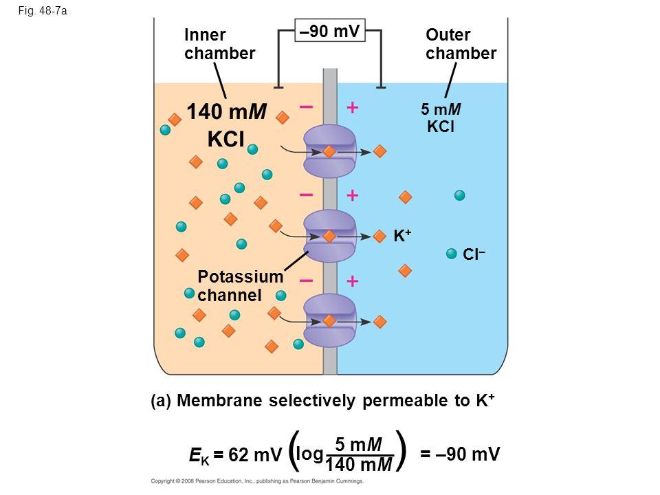 ( ) 140 mM KCI 5 mM EK = 62 mV log = –90 mV 140 mM –90 mV Inner Outer