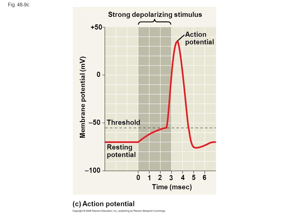 Strong depolarizing stimulus