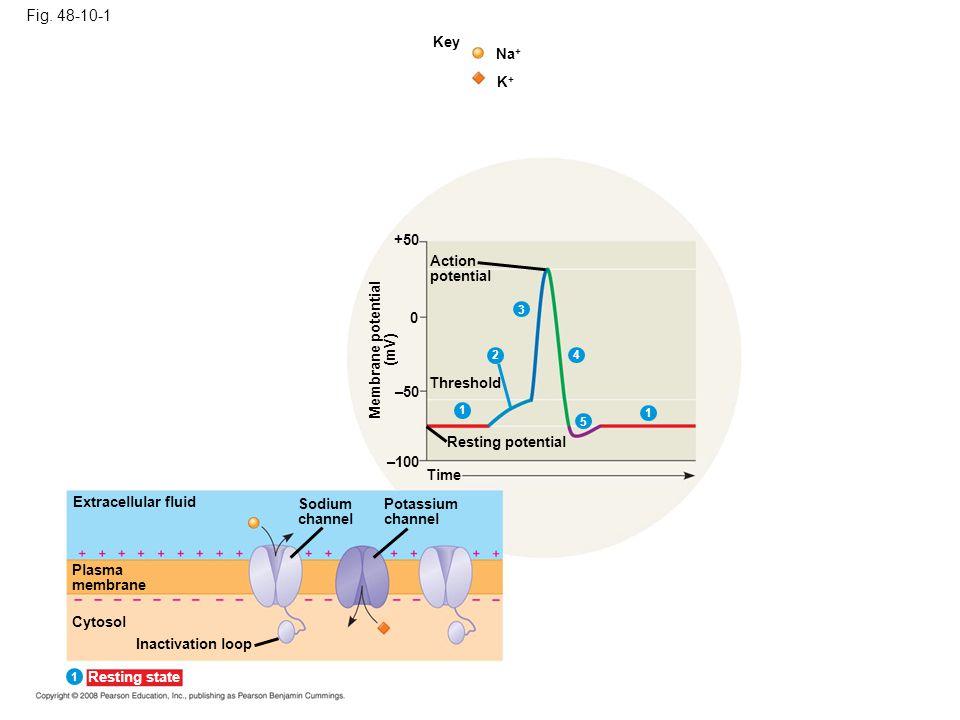 Fig. 48-10-1 Key. Na+ K+ +50. Action. potential. 3. Membrane potential. (mV) 2. 4. Threshold.