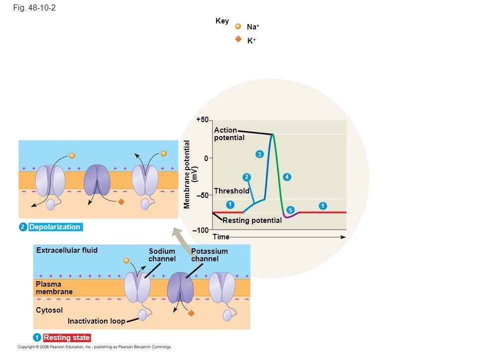 Fig. 48-10-2 Key. Na+ K+ +50. Action. potential. 3. Membrane potential. (mV) 2. 4. Threshold.