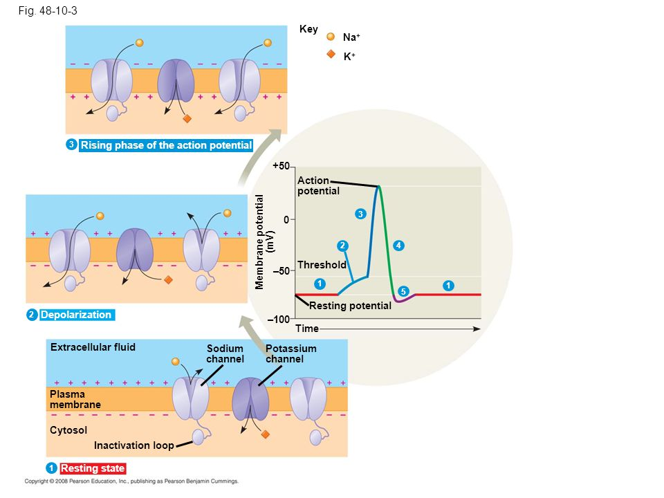 Fig. 48-10-3 Key. Na+ K+ 3. Rising phase of the action potential. +50. Action. potential. 3.