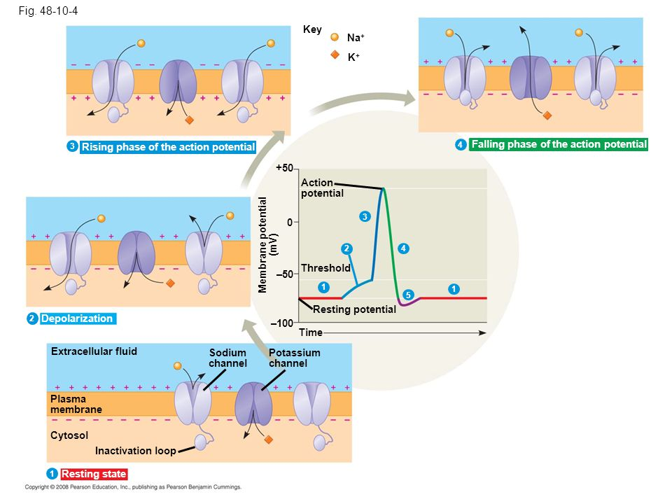 Fig. 48-10-4 Key. Na+ K+ 3. Rising phase of the action potential. 4. Falling phase of the action potential.