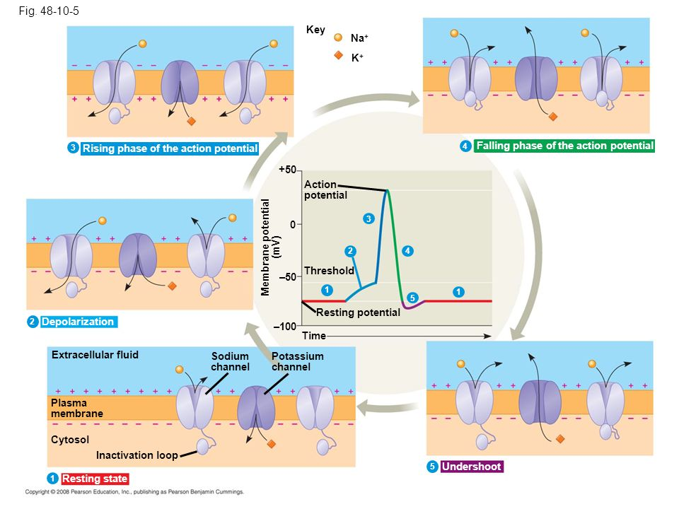 Fig. 48-10-5 Key. Na+ K+ 3. Rising phase of the action potential. 4. Falling phase of the action potential.