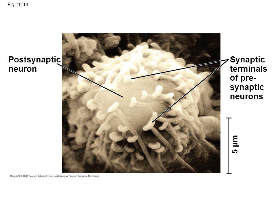 Postsynaptic neuron Synaptic terminals of pre- synaptic neurons 5 µm
