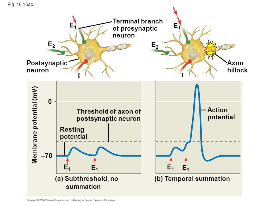 E1 E1 E2 E2 I I E1 E1 E1 E1 Terminal branch of presynaptic neuron