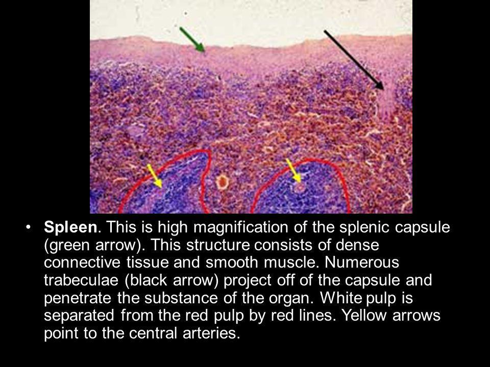 Spleen. This is high magnification of the splenic capsule (green arrow).